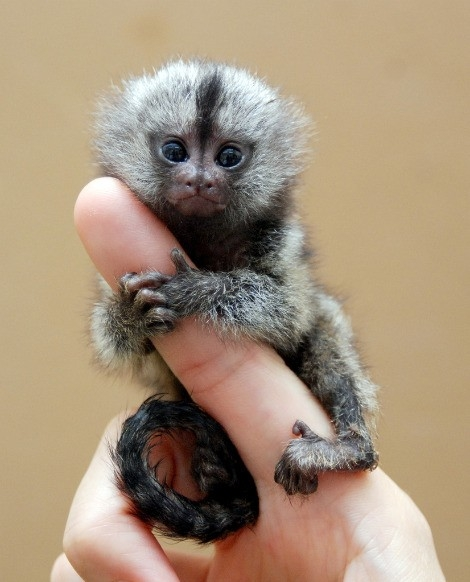 Pygmy-Marmoset-Baby